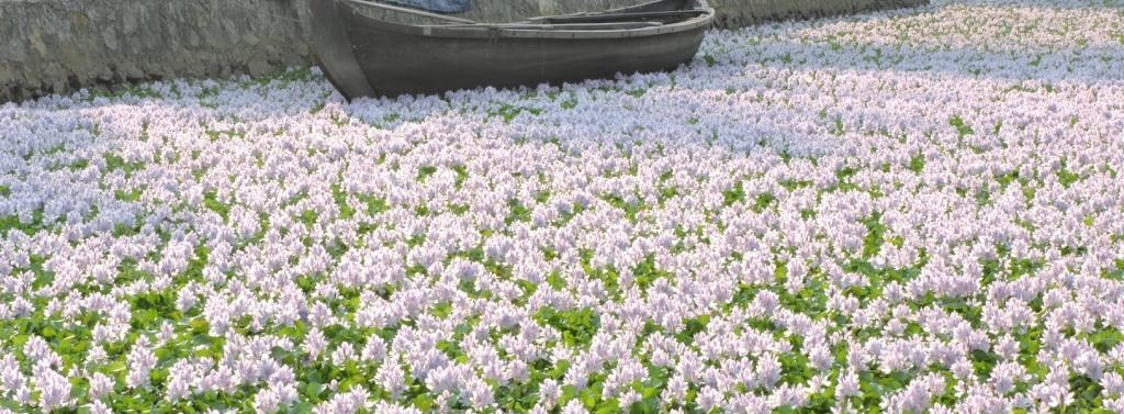 In many countries the water hyacinth has completely blocked waterways. Courtesy My India.