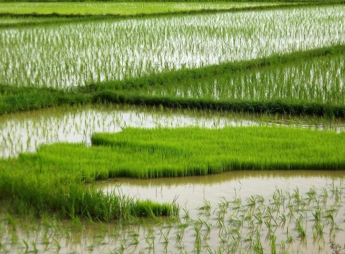 flood-tolerant-rice co uni berkeley.jpg