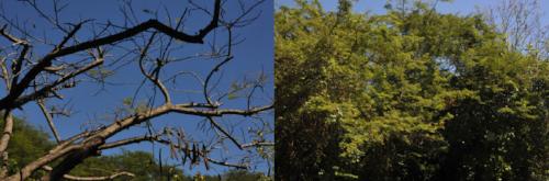 Exemple de dégâts (photo de gauche) sur du Mimosa en Guadeloupe