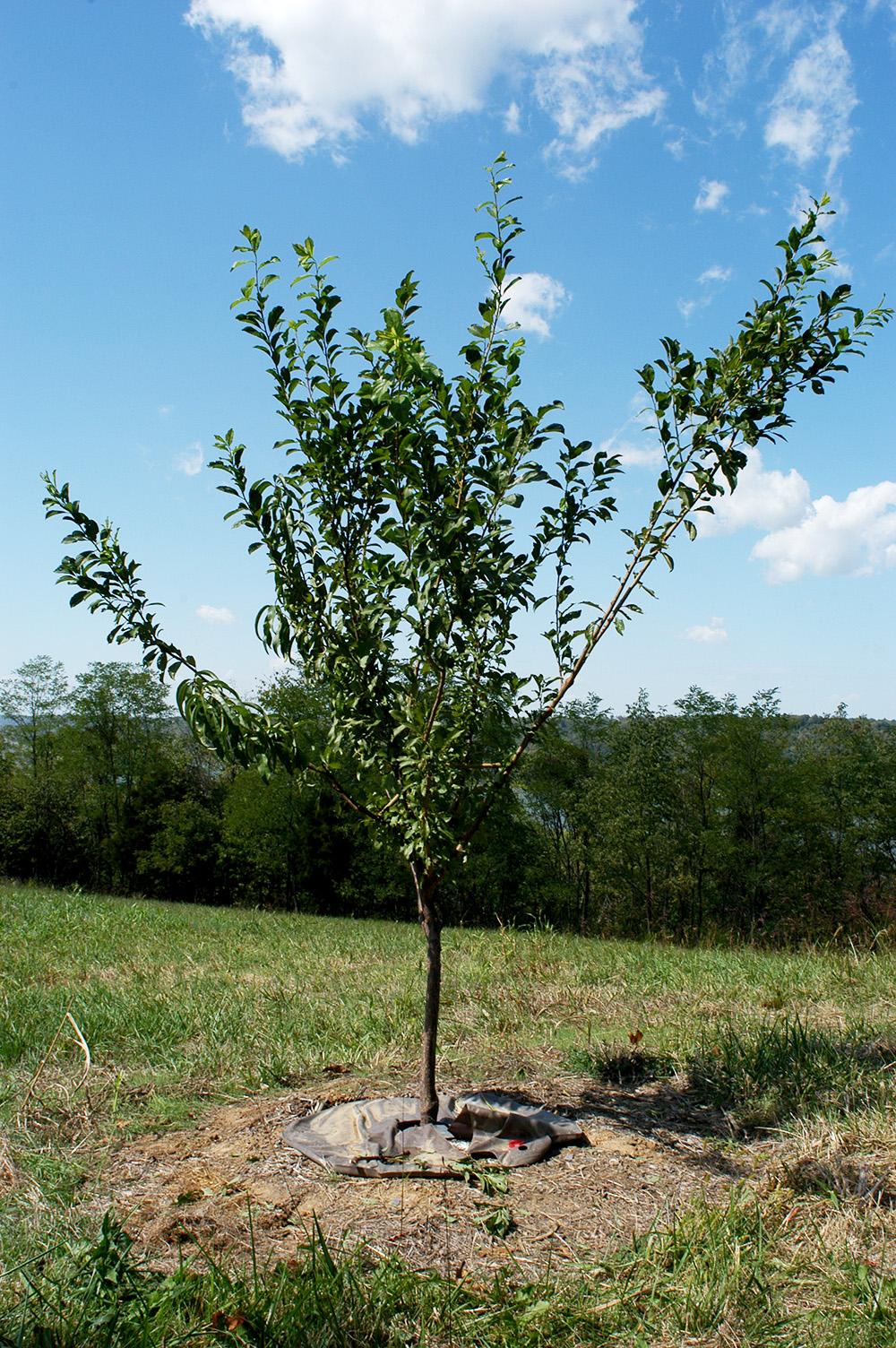 sam_van_aken_tree_69_sm_2012.jpg
