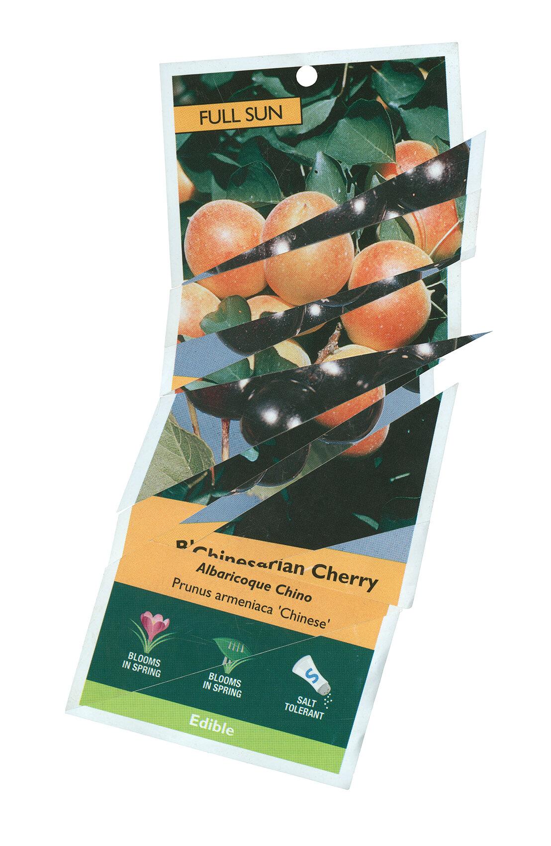 Chinese Apricot-Black Tartarian (22x34).jpg