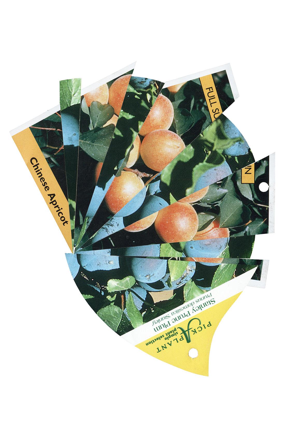 Chinese-Mormon-Stanley (Apricot-Plum2) (22x34).jpg