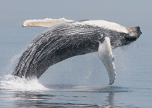 Humpback Whale Research