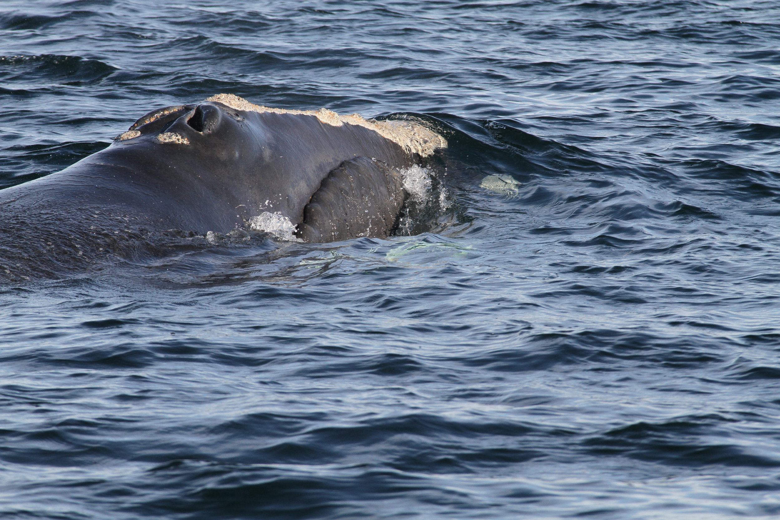 Right Whale Ecology