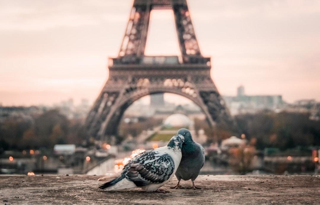 Pigeon_Love .jpeg