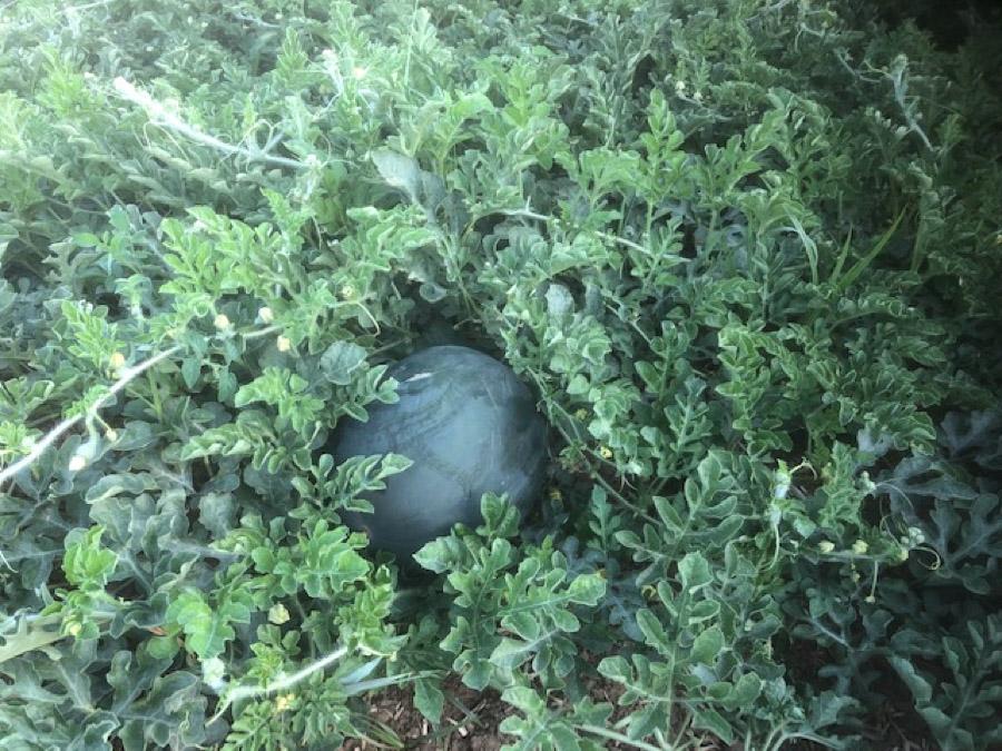 melon 19-2.jpg