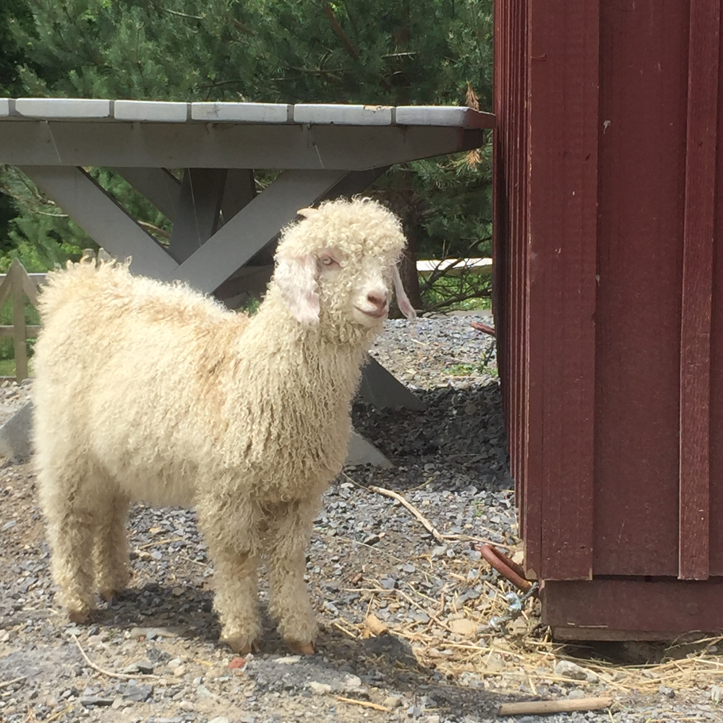 """Nanny also came from the angora farm of 800. She was properly weaned from mom and came to us at 12 weeks. Having never really been around people, she was super shy, skittish and beyond nervous. Mo was fiercely afraid of Nanny: we think Mo thought he was a Nigerian goat. He'd run and hide from Nanny because she looked and smelled different. Olaf, Sven and Ana weren't as taken back by her white fiber. Nanny would often hide in a garbage can out of nervousness. Ana and Elsa became her friends and slowly but surely, she became part of the herd. When Ana had her babies we'd find Nanny in the birthing pen with Ana. Their friendship has blossomed especially after Elsa's tragic death. It's taken awhile for Nanny to come and cuddle with us, but she is not afraid to come for treats. Large crowds still """"freak"""" her out a bit. Although super shy and lower on the pecking order of of goats, she was ironically the first to accept the baby calves. I think she really wants to be a mom. We're hoping..."""