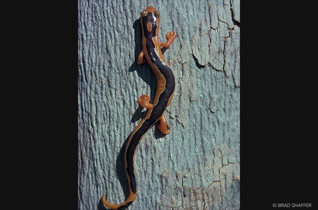 salamander1.png