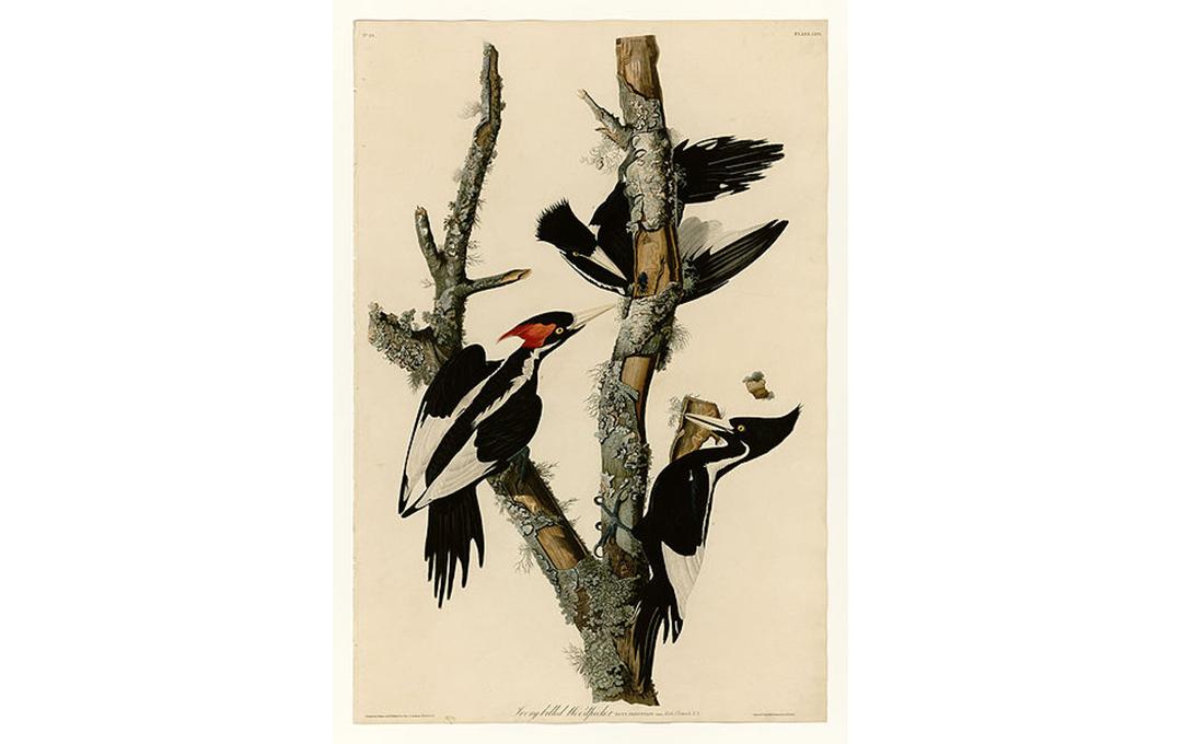 ©Jean-Jacques-Fougère Audubon