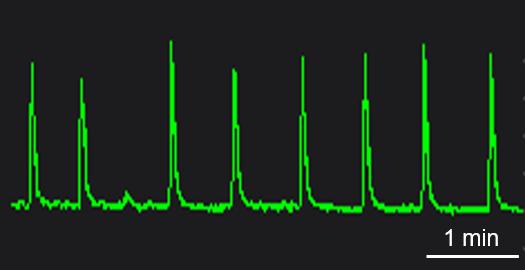 BX0100 Calcium Oscillation.png