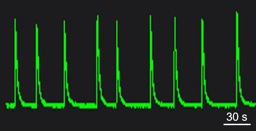 BX0500 Calcium Oscillation.png