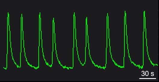 BX0300 Calcium Oscillation.png