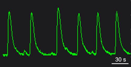 BX0450 Calcium Oscillations.png