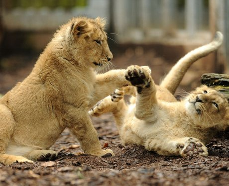 Even lions learn through play.