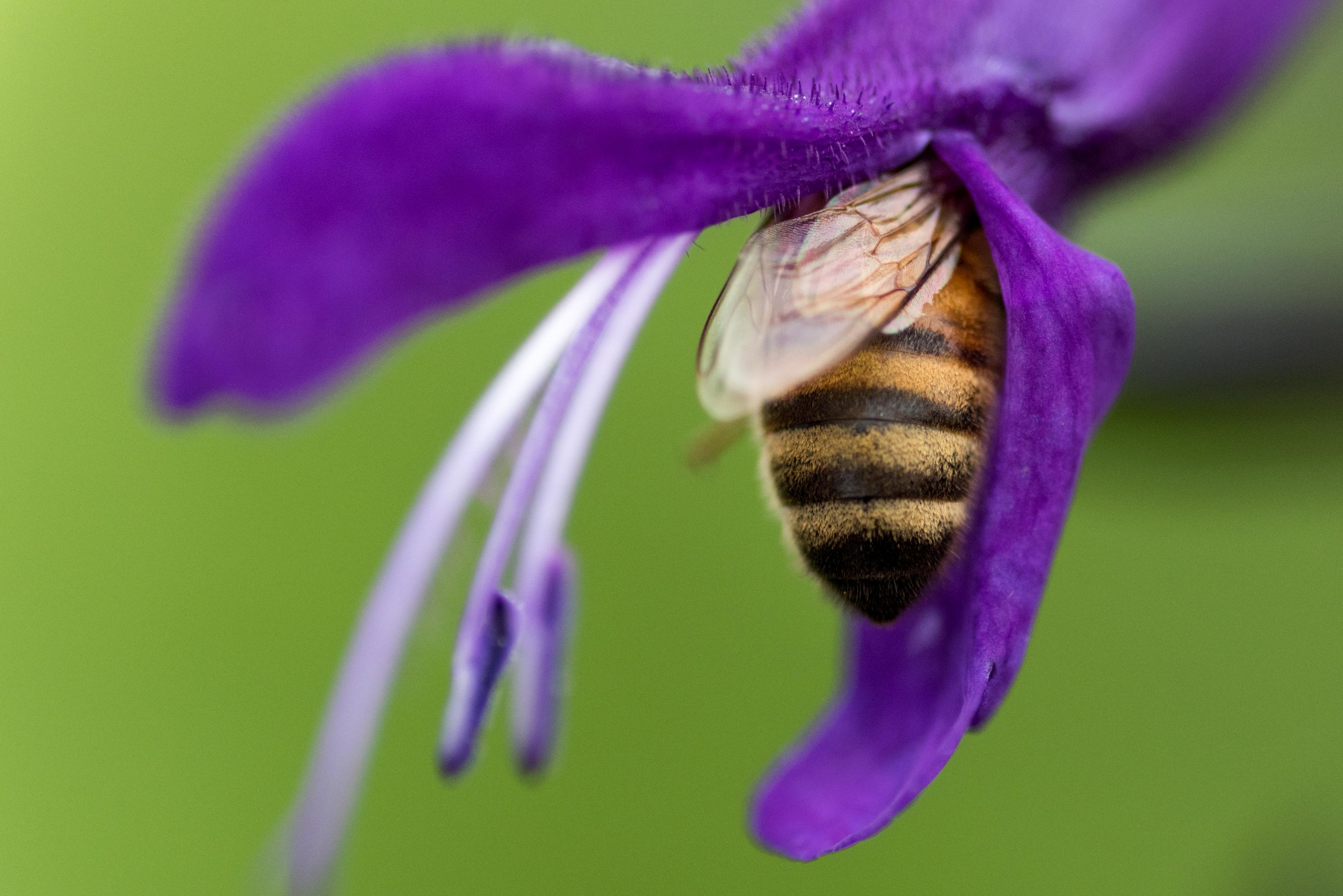 Bee - Chicago Botanic Garden