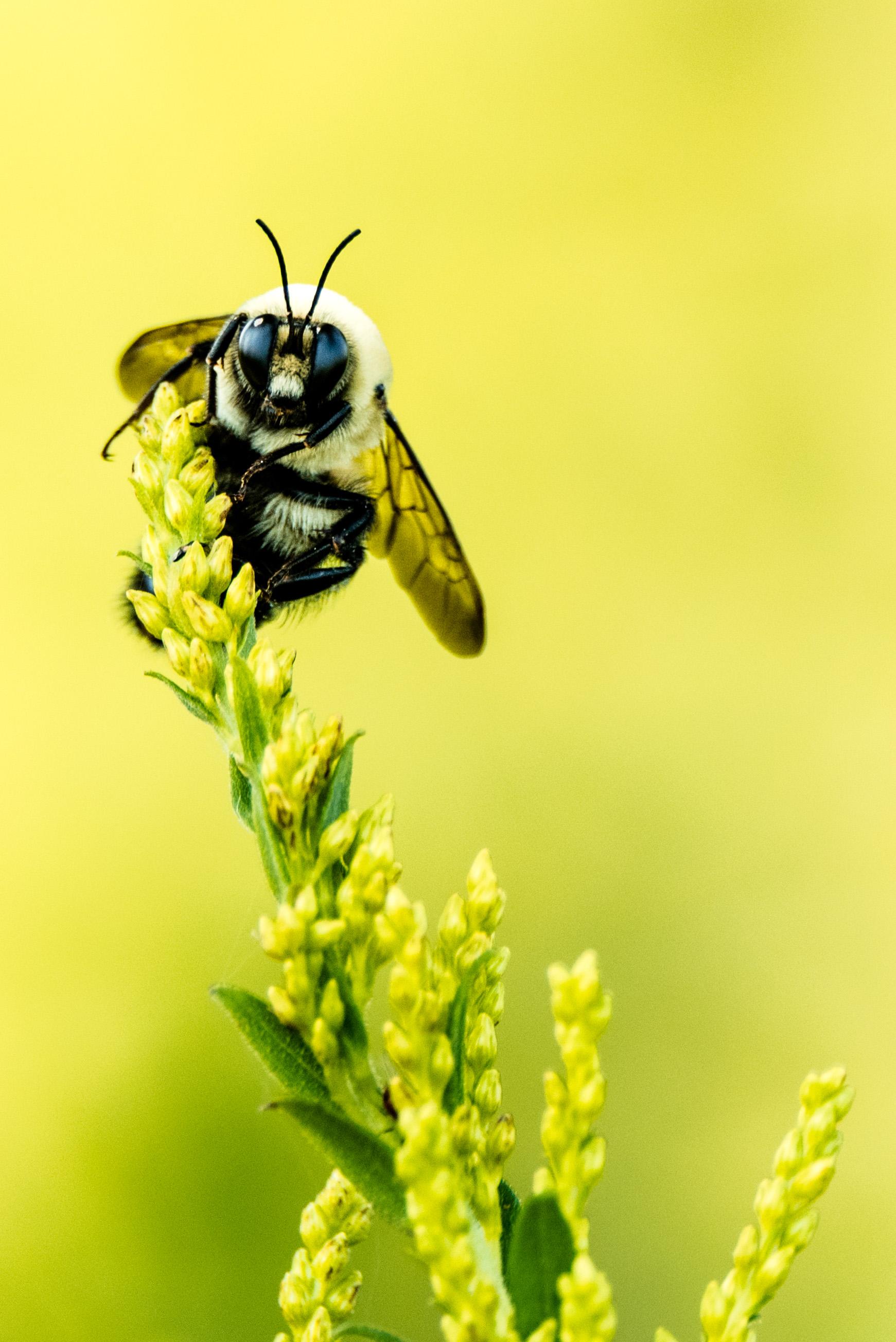 Bumble Bee - Chicago Botanic Garden