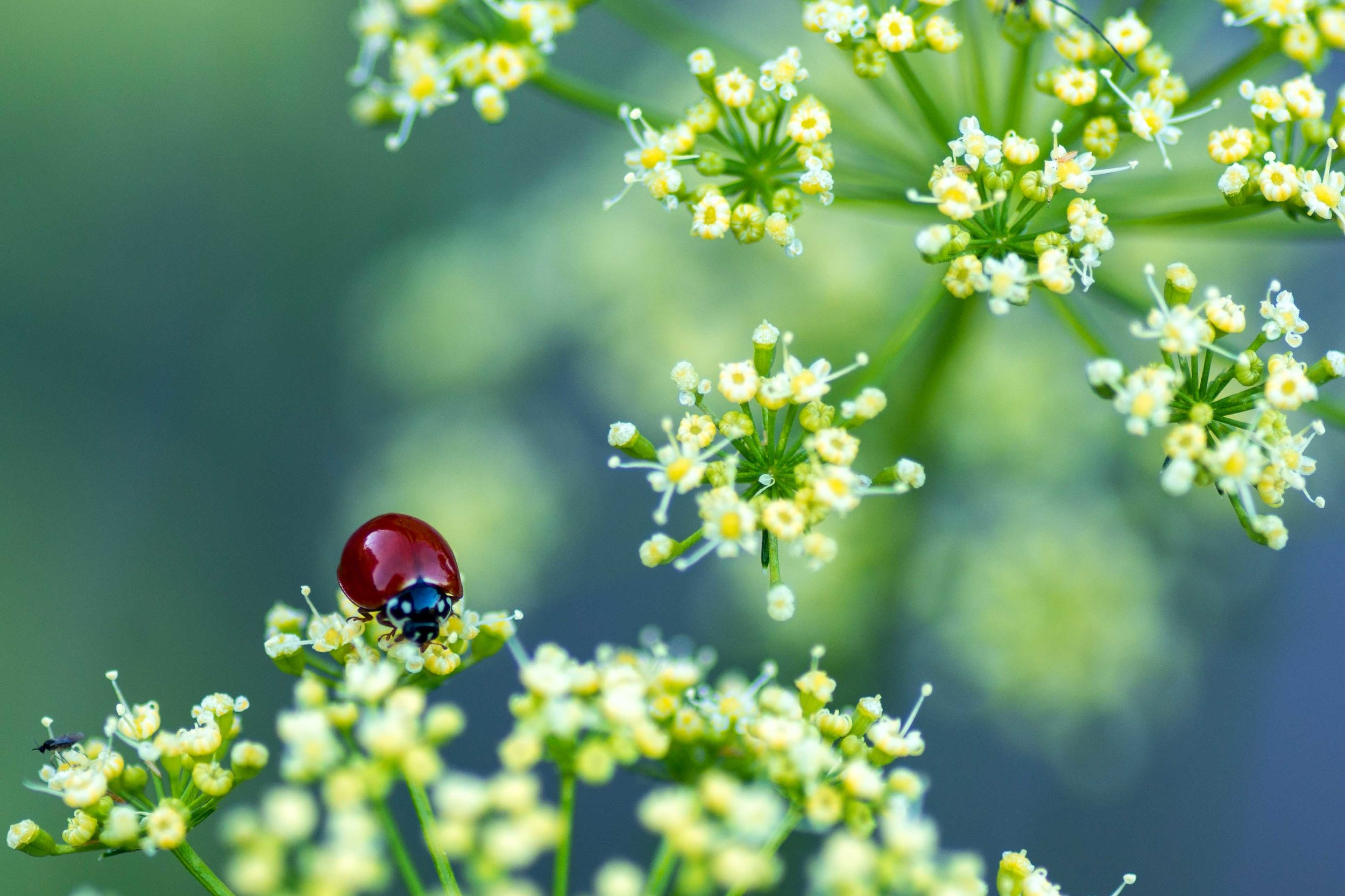 Lady Bug & Dill - Jenny's Garden (Texas)