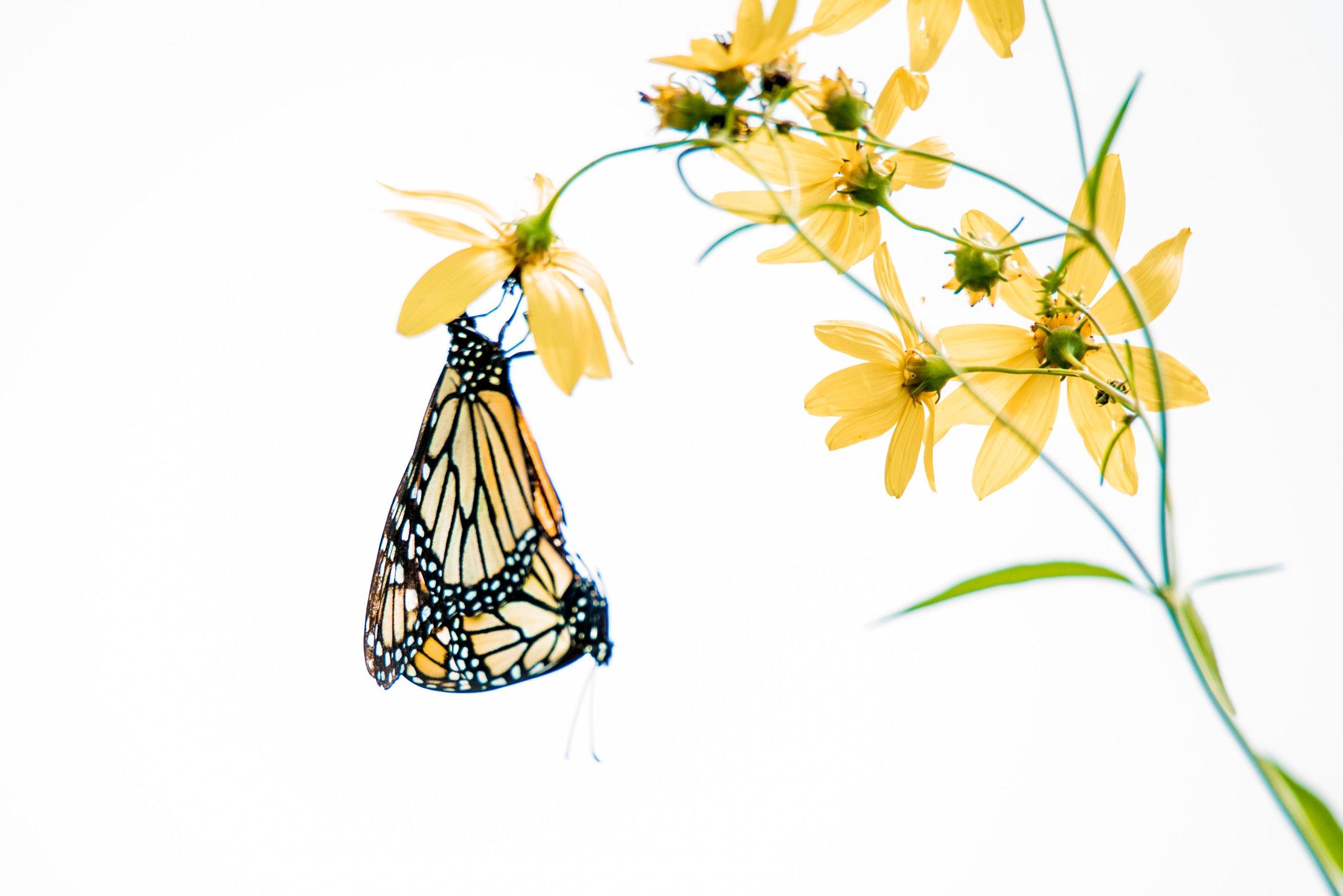 Monarch Butterflies - Chicago Botanic Garden