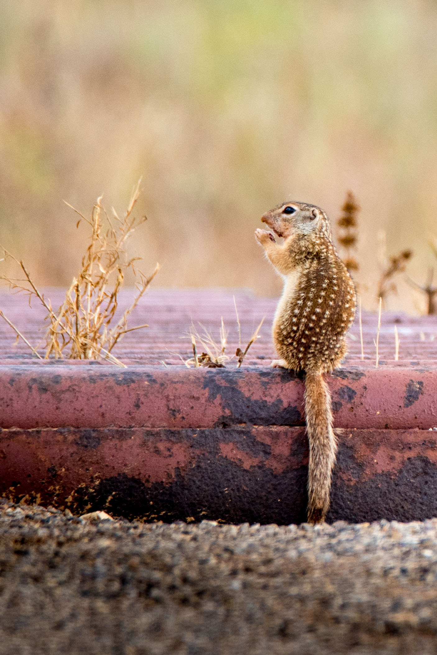 Mexican Ground Squirrel - Gulley Road