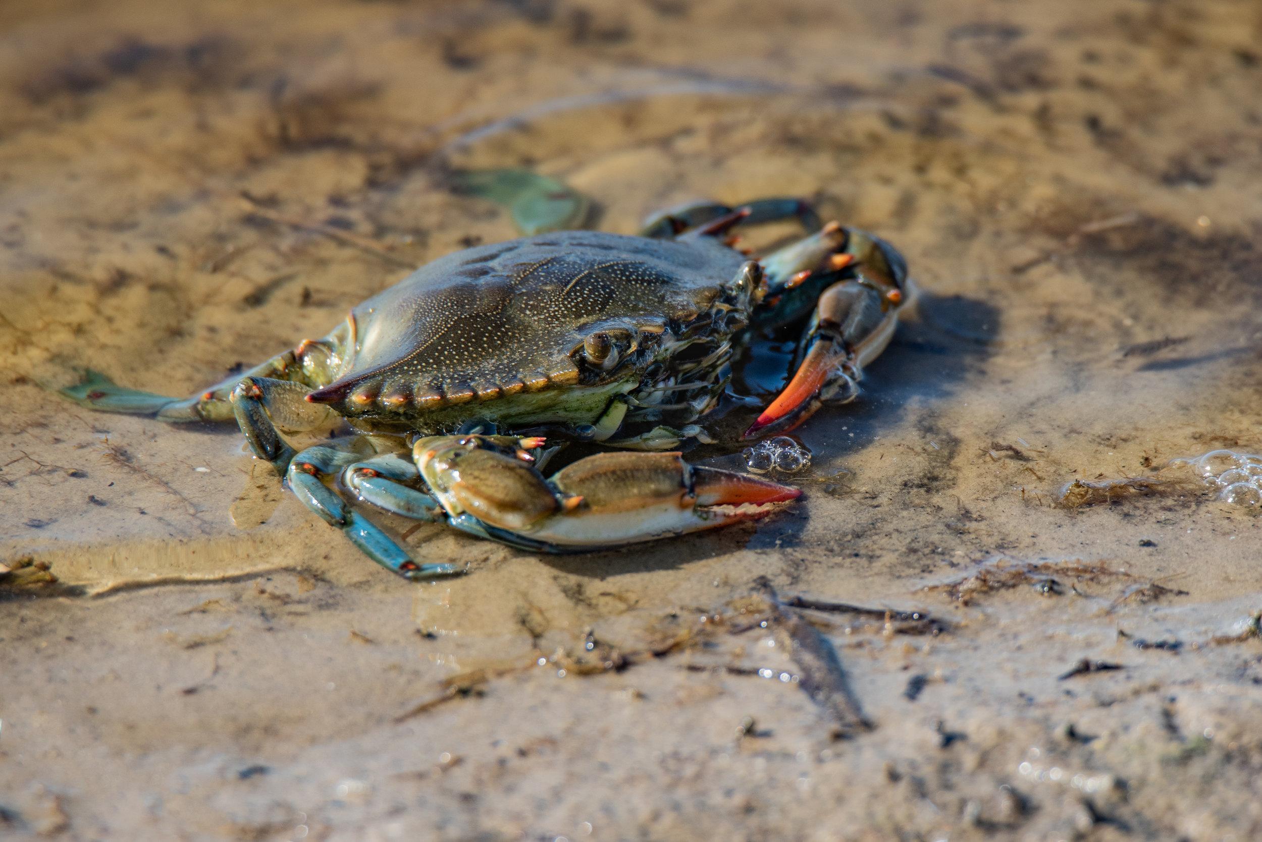 Blue Crab - Port Aransas, Texas