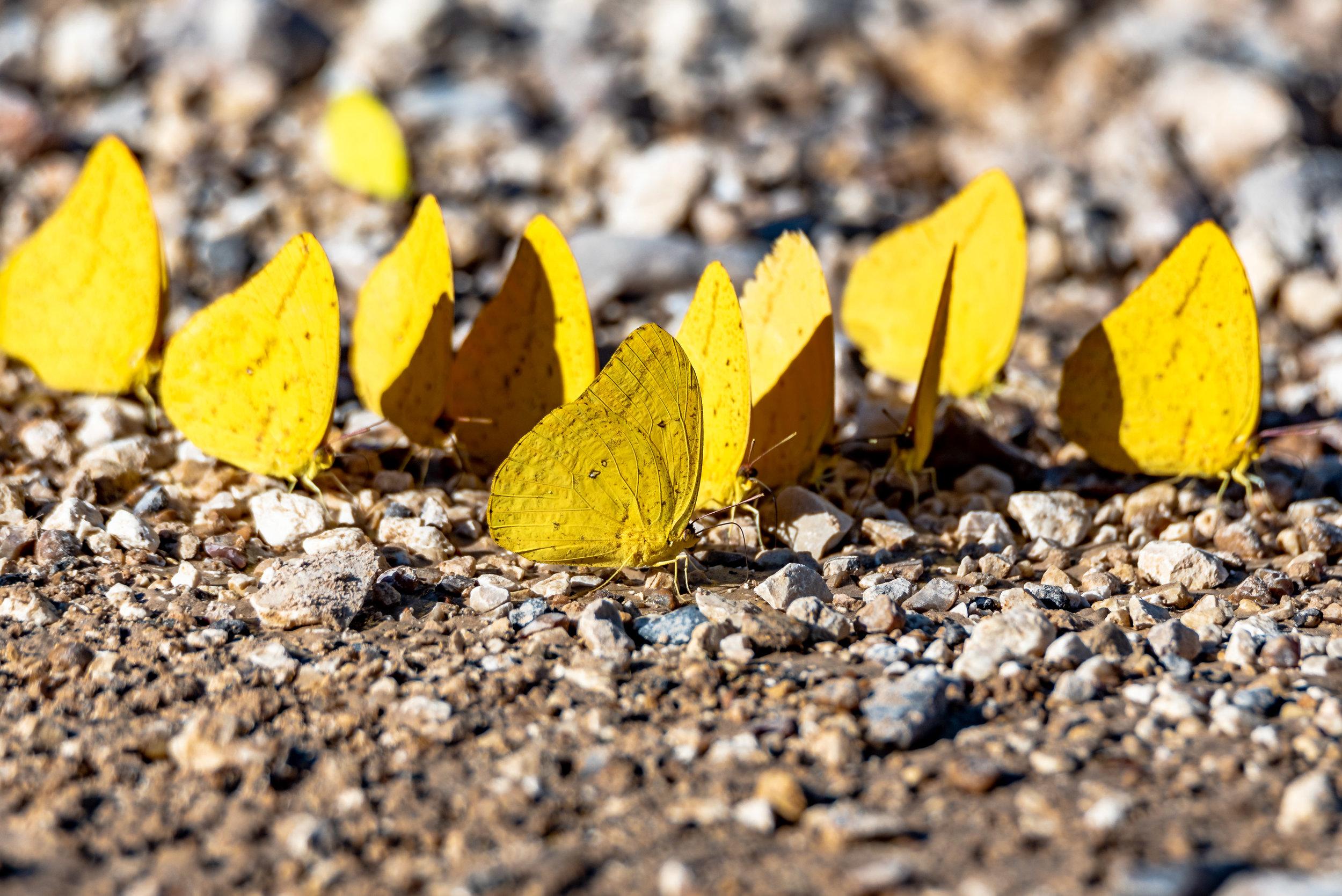 Large Orange Sulpher butterflies