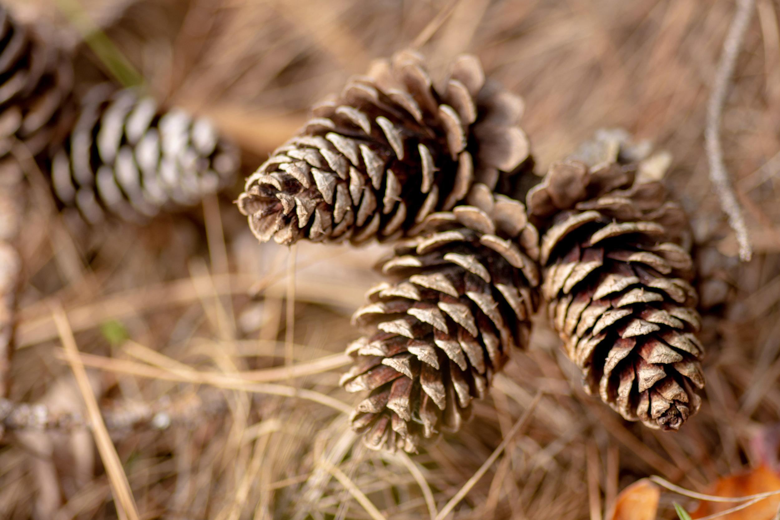 Pinecones - Lake Bob Sandlin State Park, Texas