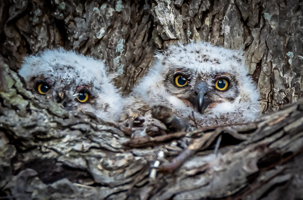 Great Horned Owls - Austin, Texas