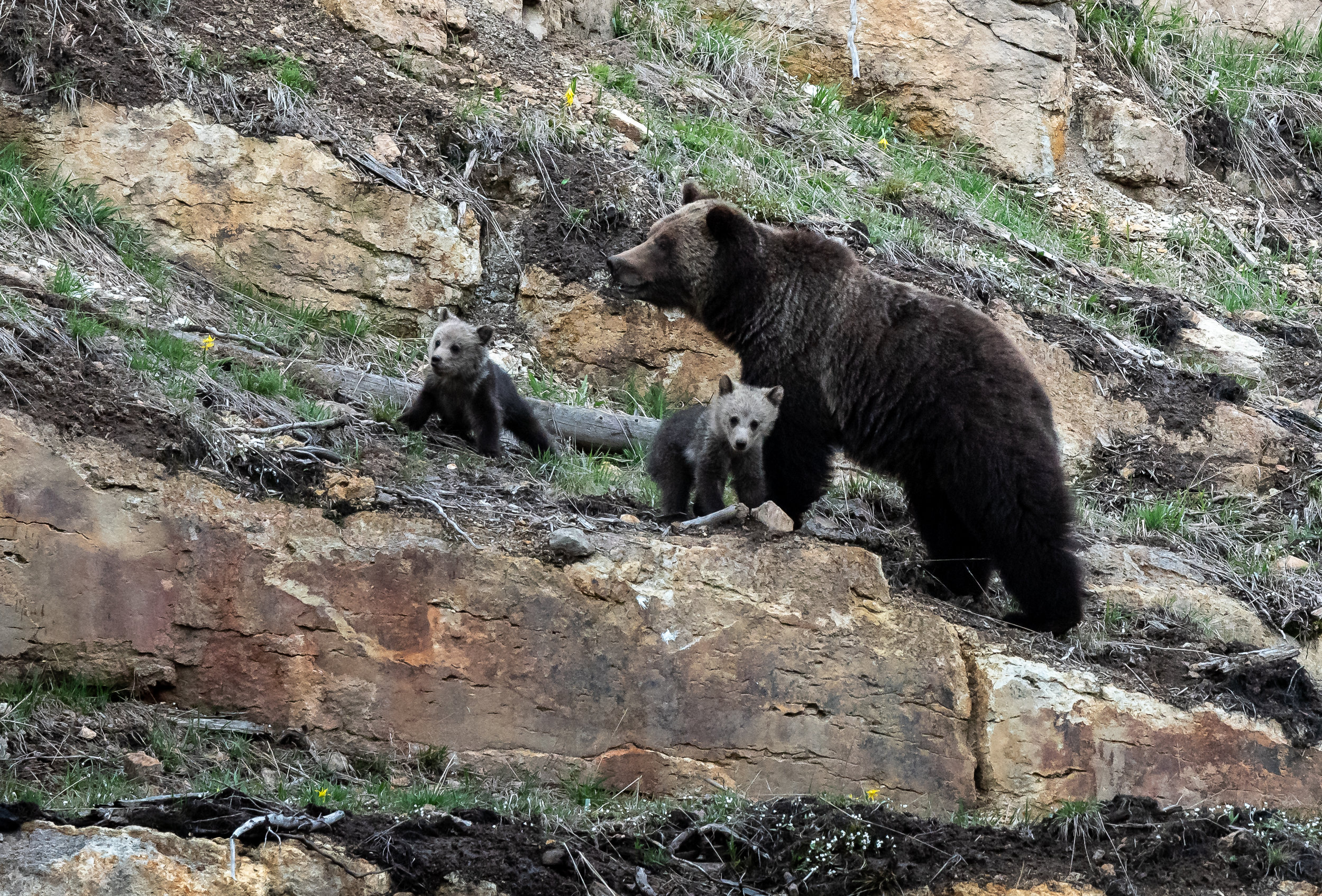 Grizzly Mama & cubs