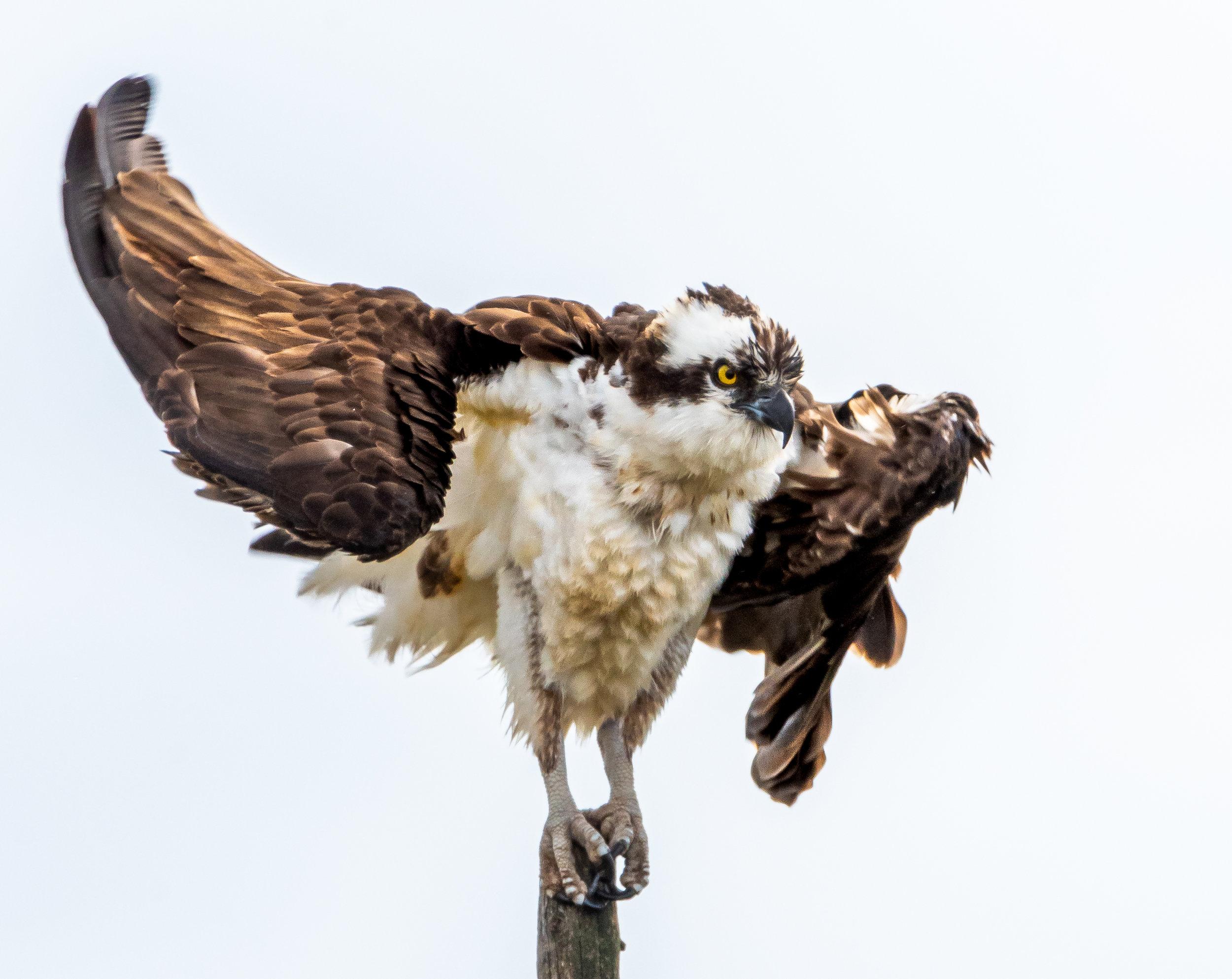 Osprey - Norris, Montana