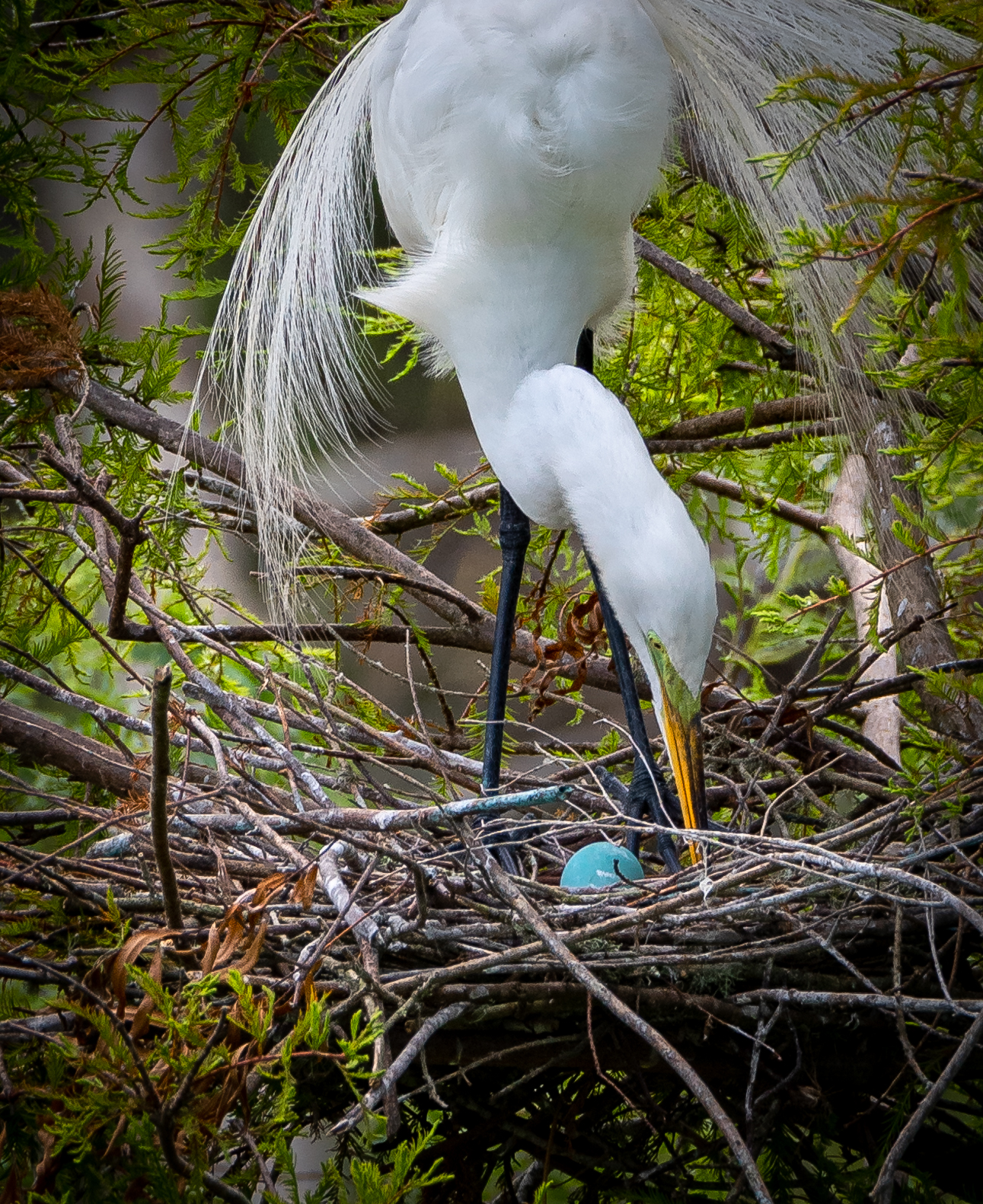 Egret - High Island, Texas