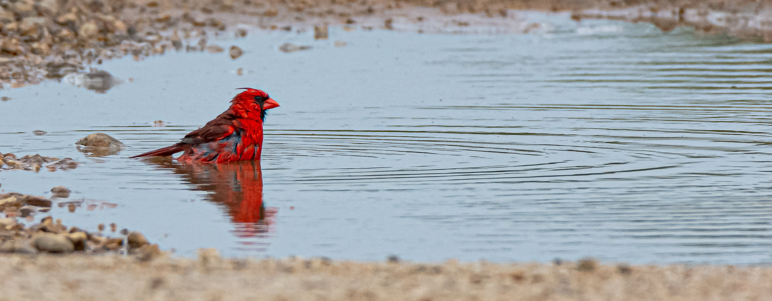 Northern Cardinal - Gulley Road