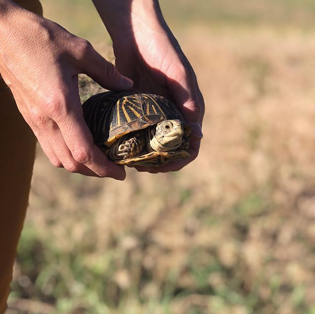 A turtle research and rescue mission with @mypandabair 🐢🐢🐢🐢🐢🐢🐢 . . . . . . . . #turtle #sandhillsinstitute #research #turtleresearch #boxturtle #artistresidency #art #ruralamerica #biodiversity #turtlerescue #turtlenest #lake #river #turtleeggs
