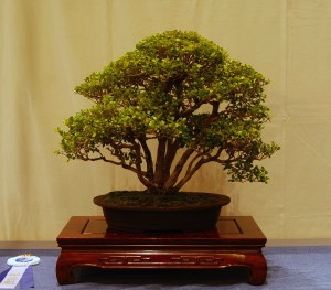 Jim Barrett Chinese Elm.jpg