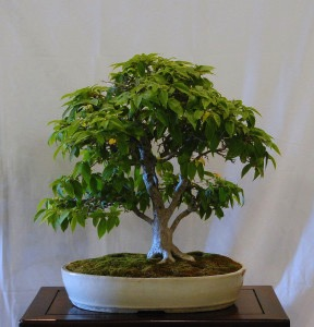 Jim Barrett Korean Hornbeam.jpg
