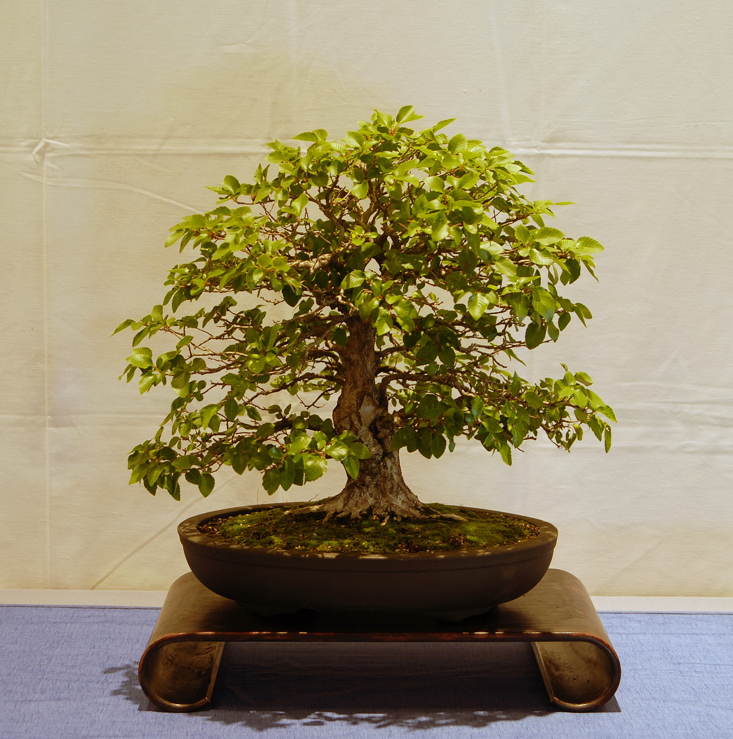 Jim Barrett Korean Hornbeam 2.jpg