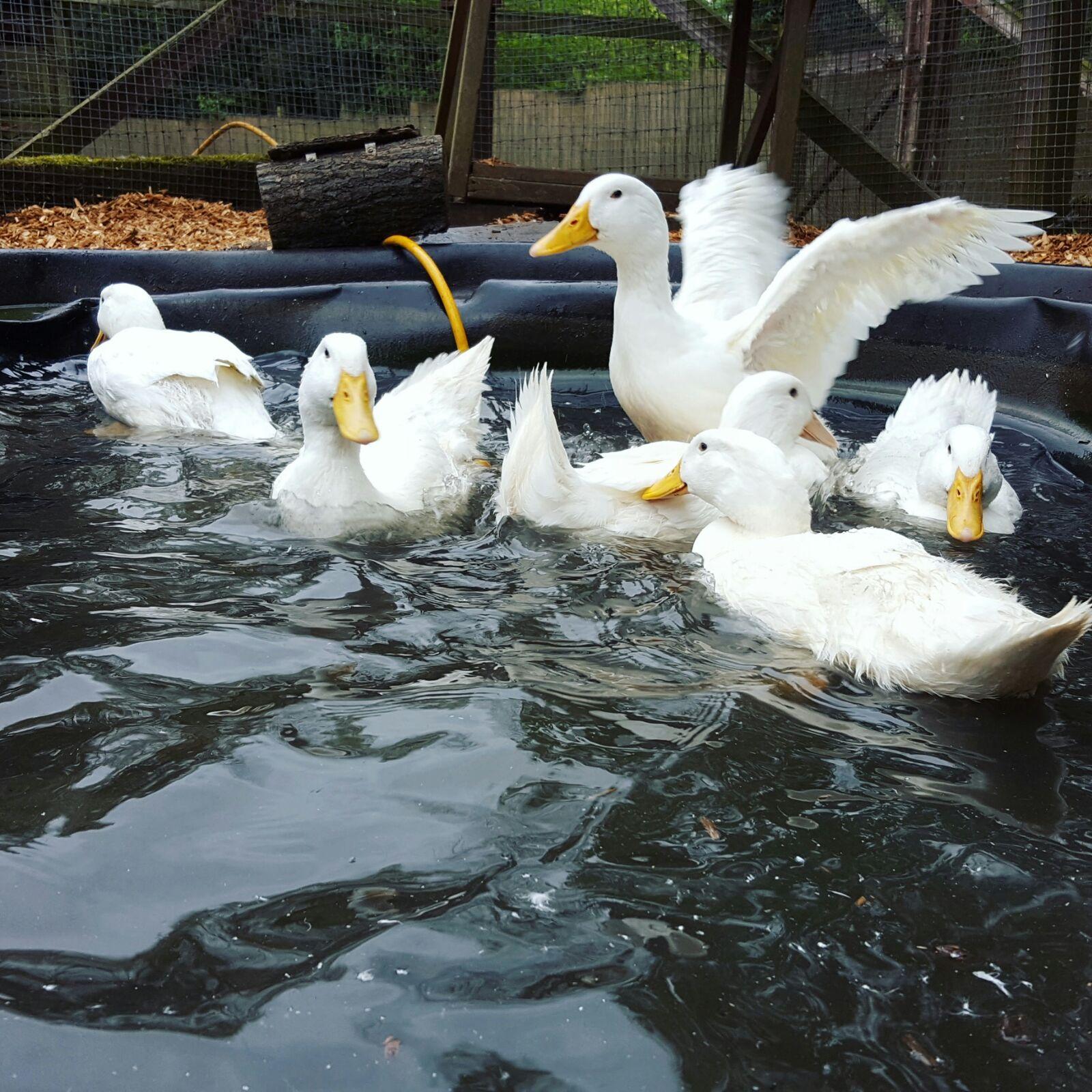 Ducklings in New Pond.jpg