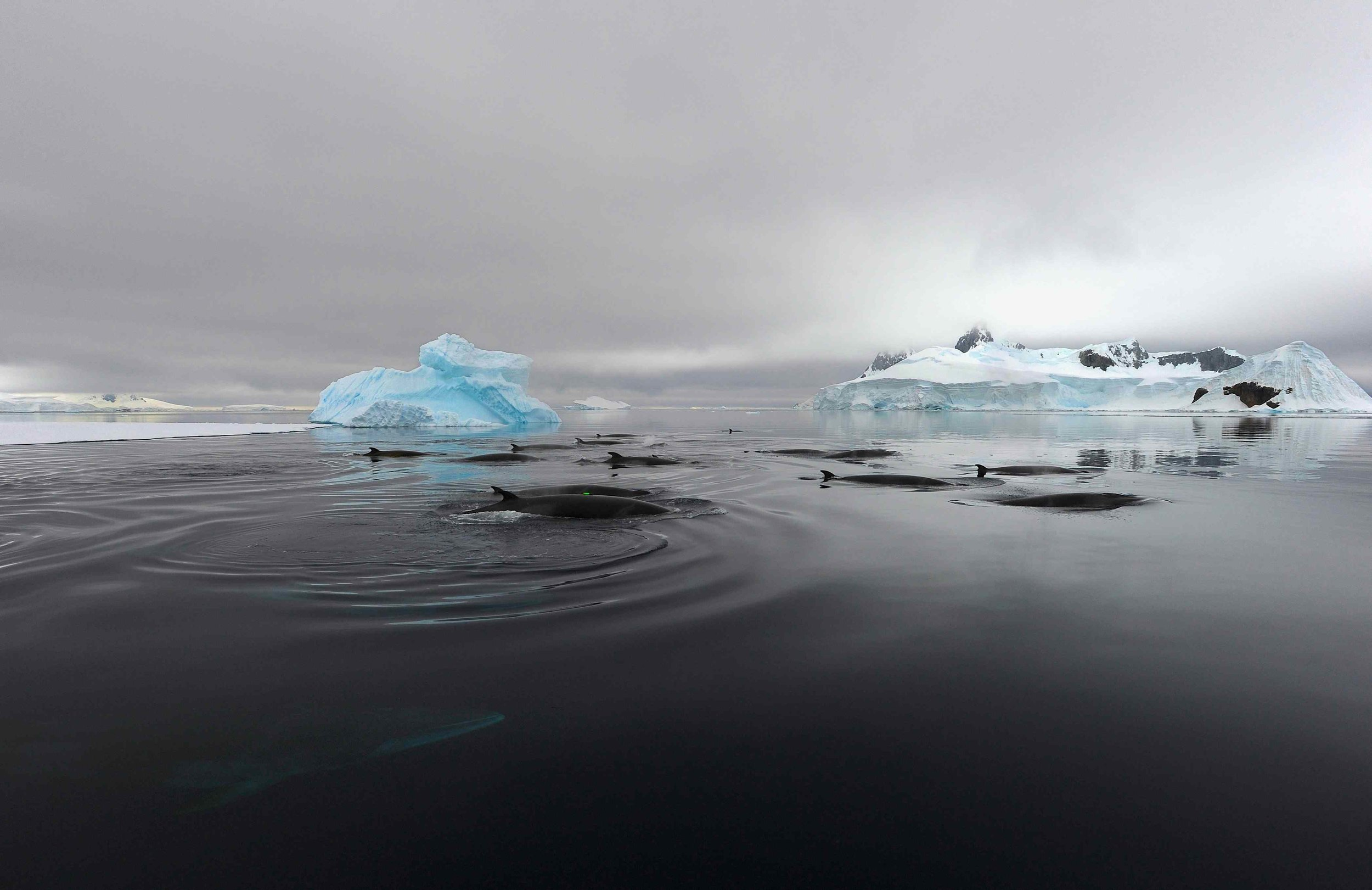 Minke whales depend on ice for their survival - Around the Antarctic Peninsula, climate change is causing a significant decrease in sea ice cover. As Minke whales take cover in the sea ice to hide from killer whales, these changes makes Minke whales more vulnerable to predators