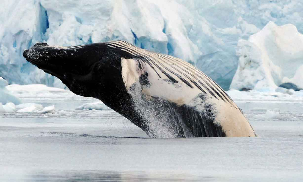 Understanding the behavior of whales in the Antarctic - As climate changeand krill fishing increase in the Antarctic, the pressure to learn more about these animals becomes more urgent. New technologies are helping scientists at COA better understand and map the most important areas where whales feed, so we can protect them before it's too late.
