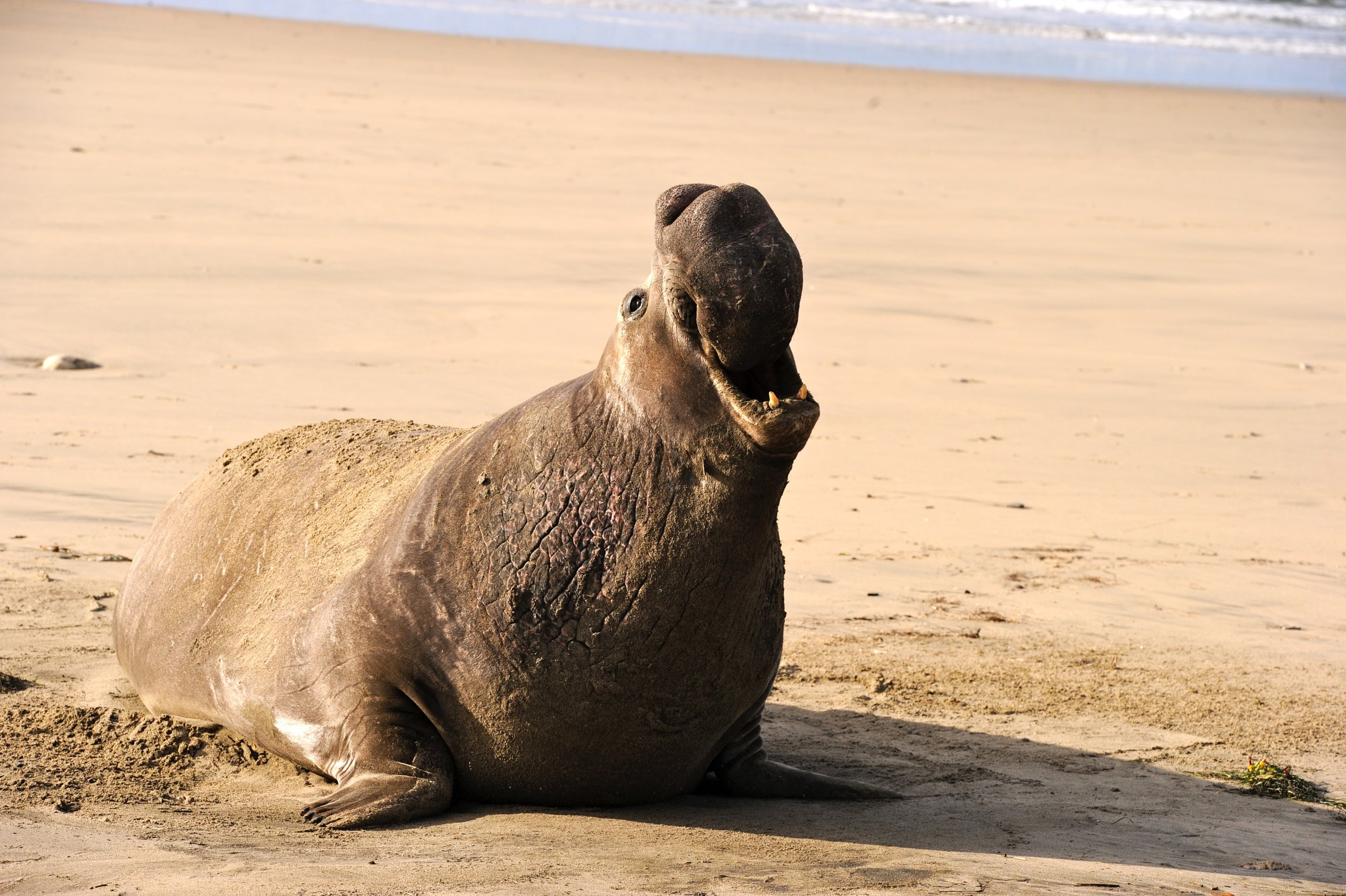 in the media - Check out this CBS news story to learn more about the secret lives of elephant seals