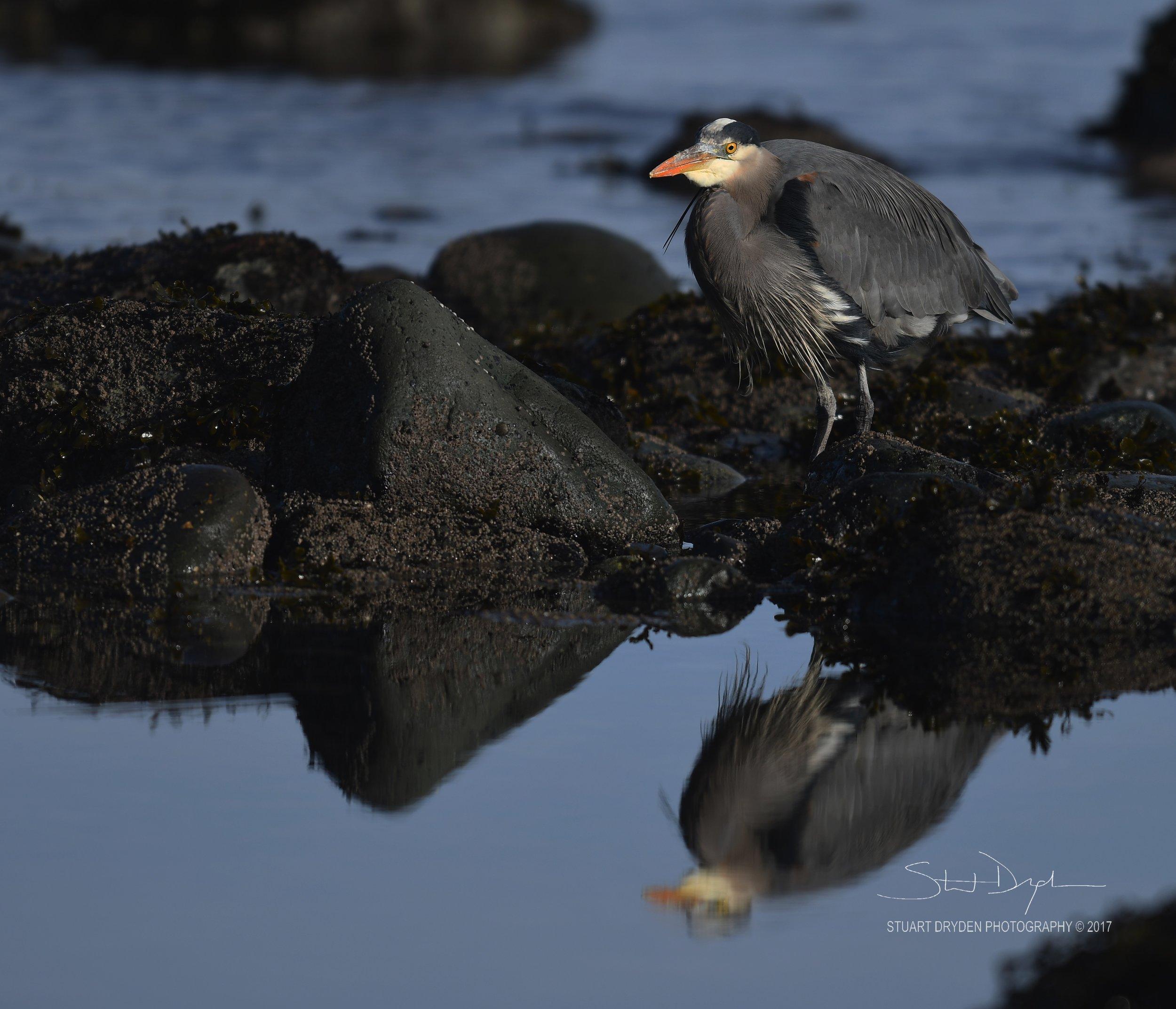 eagles-heron-feb17-170185.jpg