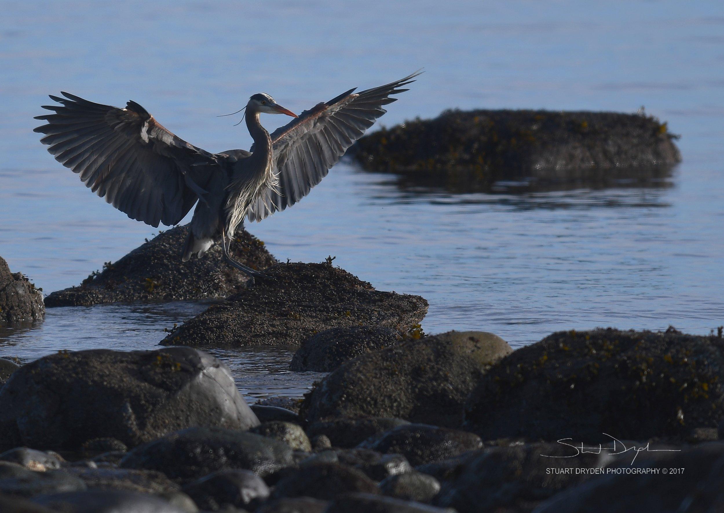 eagles-heron-feb17-170225-1.jpg