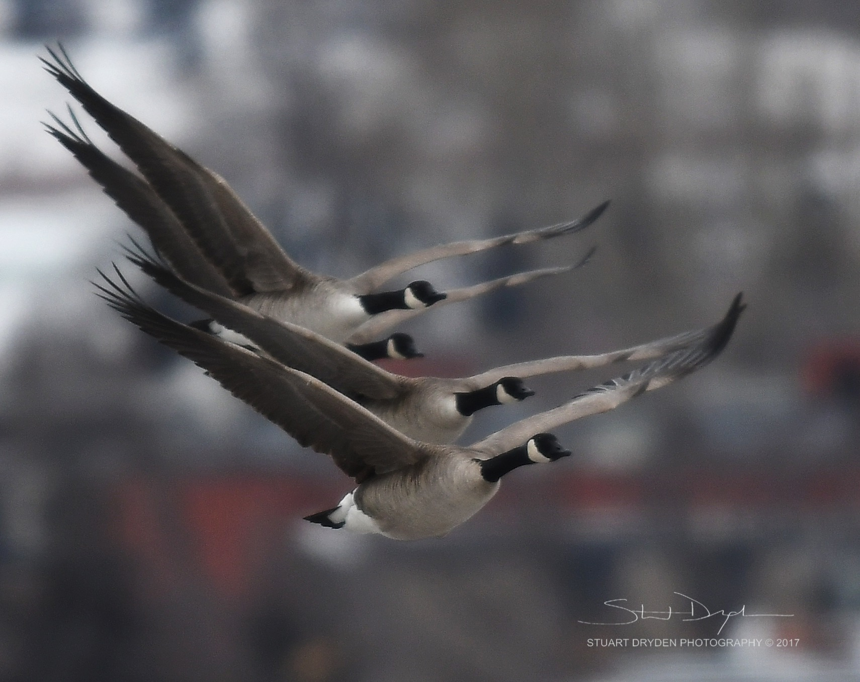 geese-jan3-170008.jpg