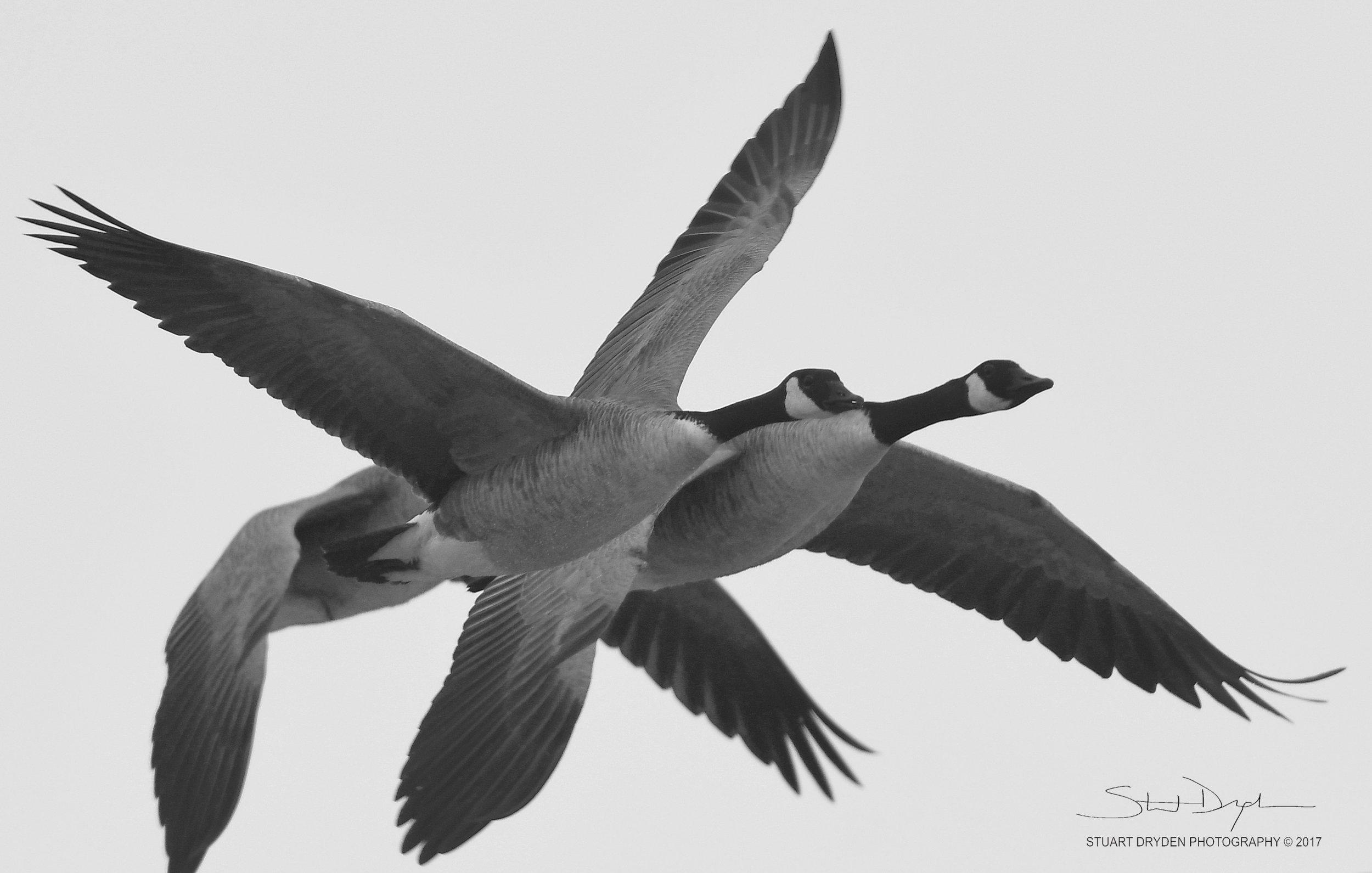 geese-jan3-170010.jpg