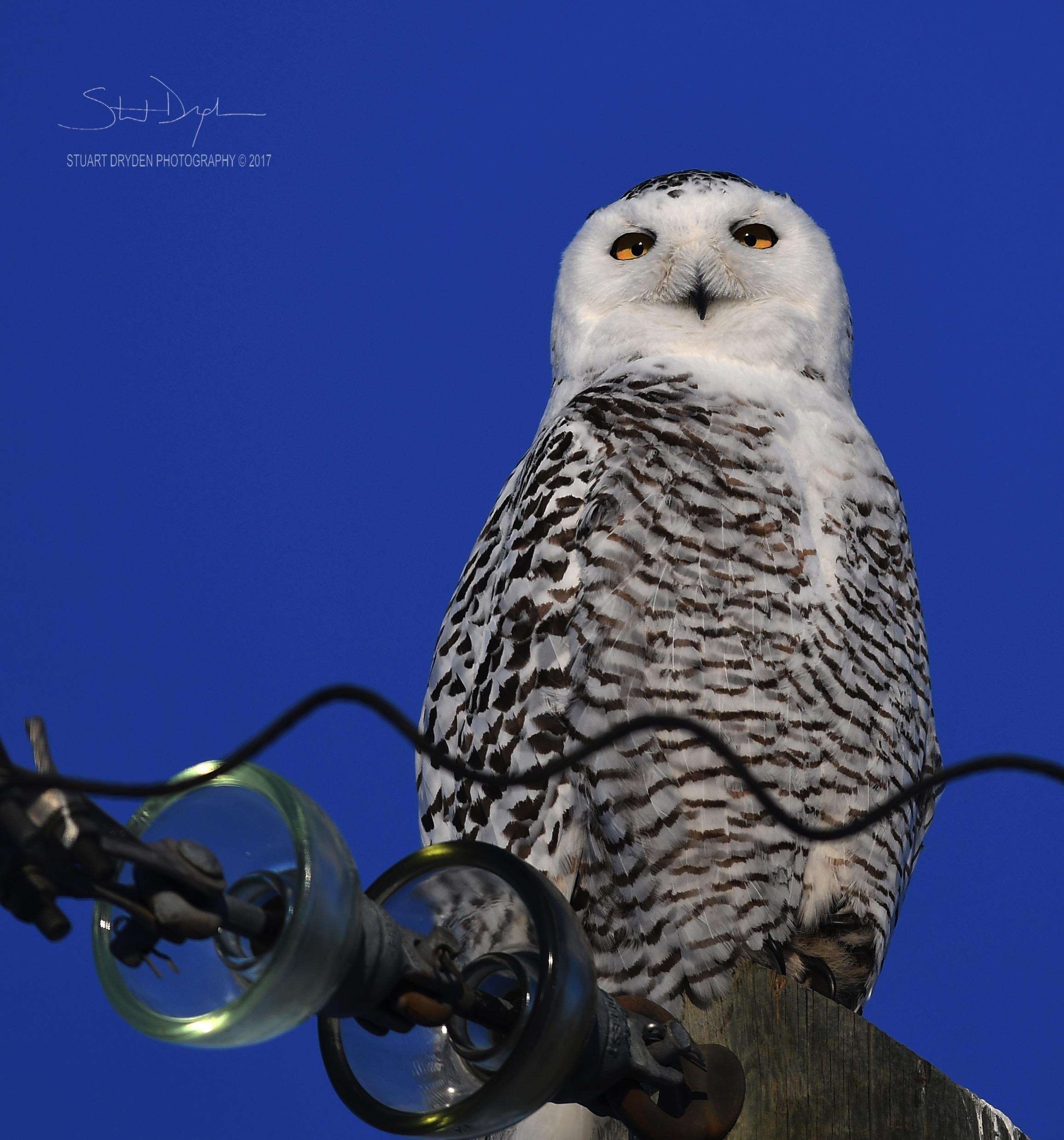 mount-sunset-snowy-owl-jan25-170067.jpg