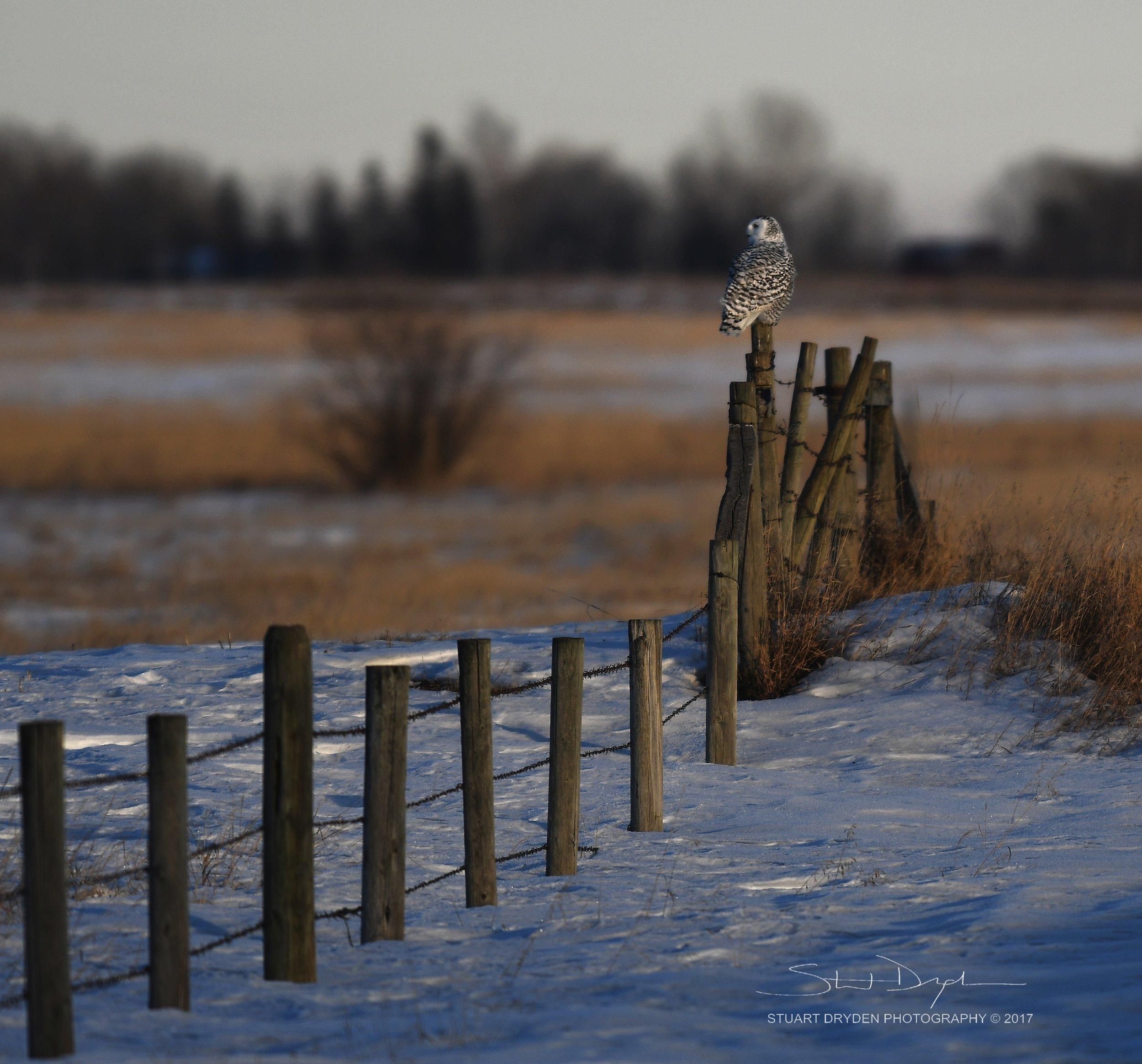 mount-sunset-snowy-owl-jan25-170107.jpg