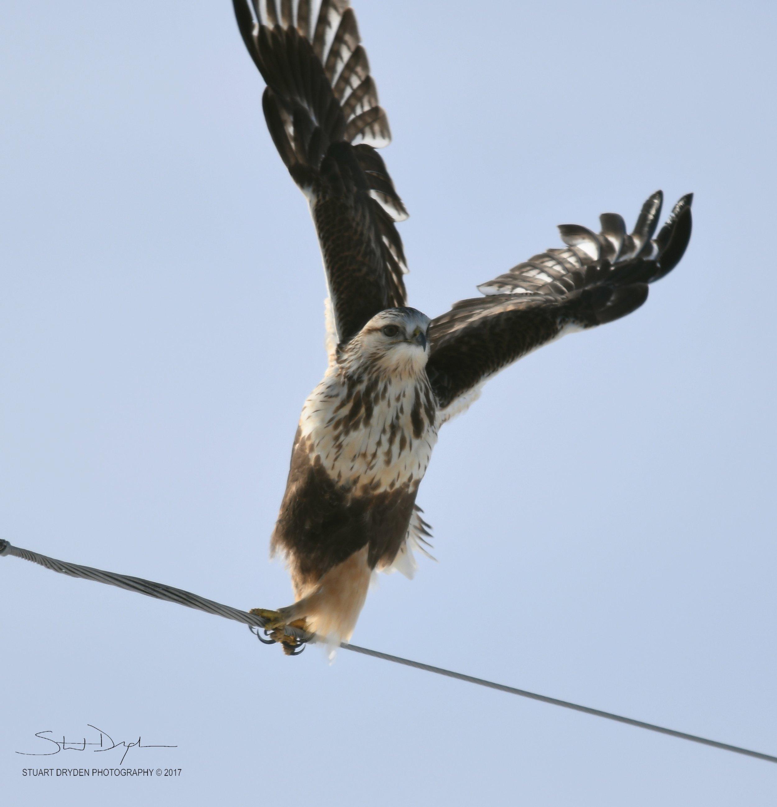 Northern-Hawk-Owl-Feb8-170110B.jpg
