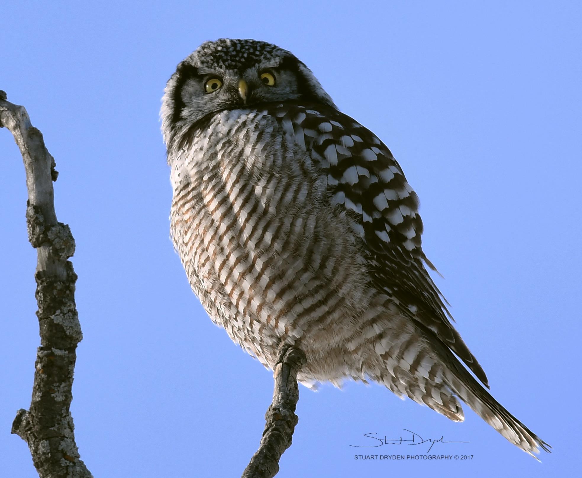 Northern-Hawk-Owl-Feb8-170168TIGHT2.jpg