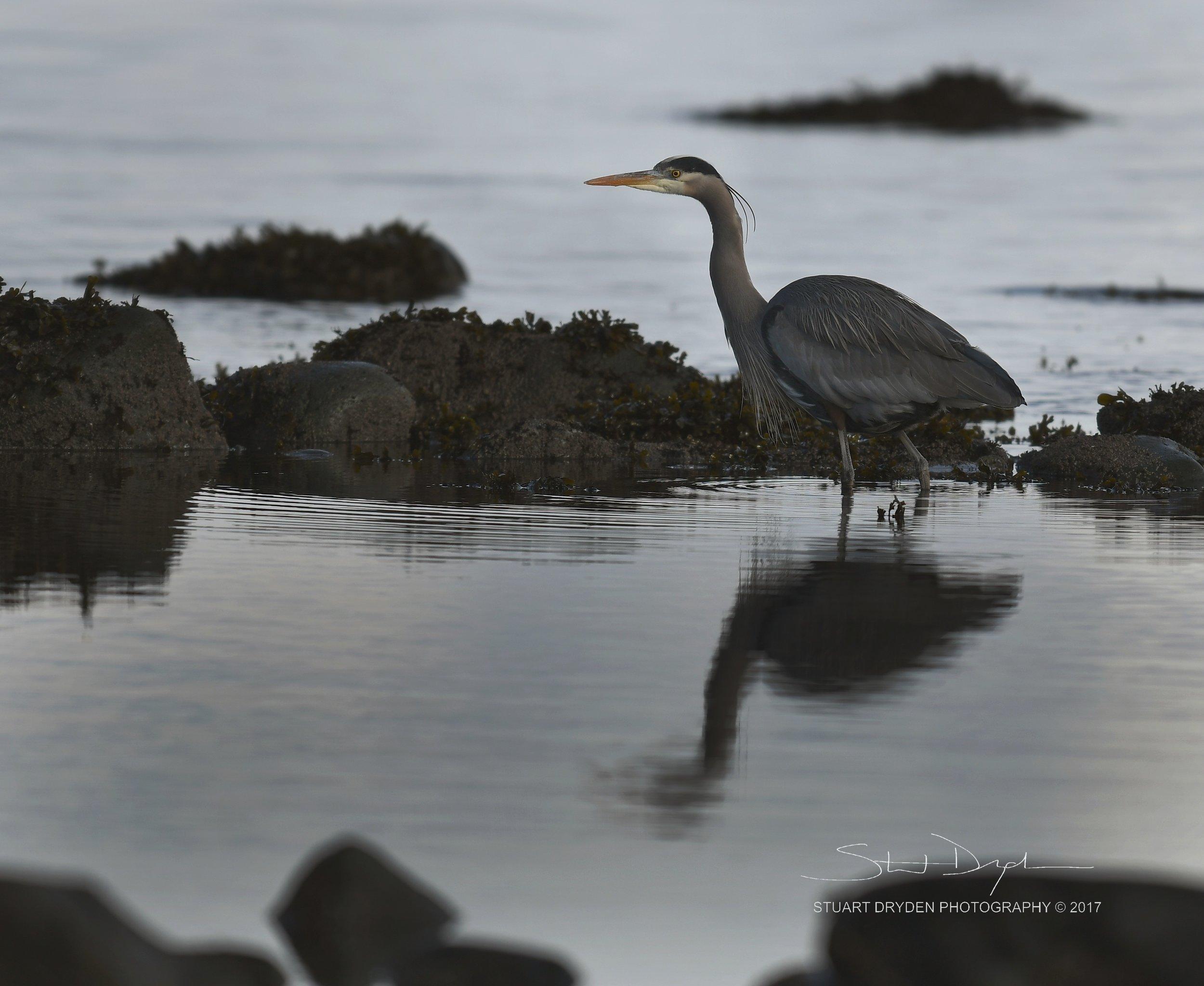 eagles-heron-feb17-170128.jpg