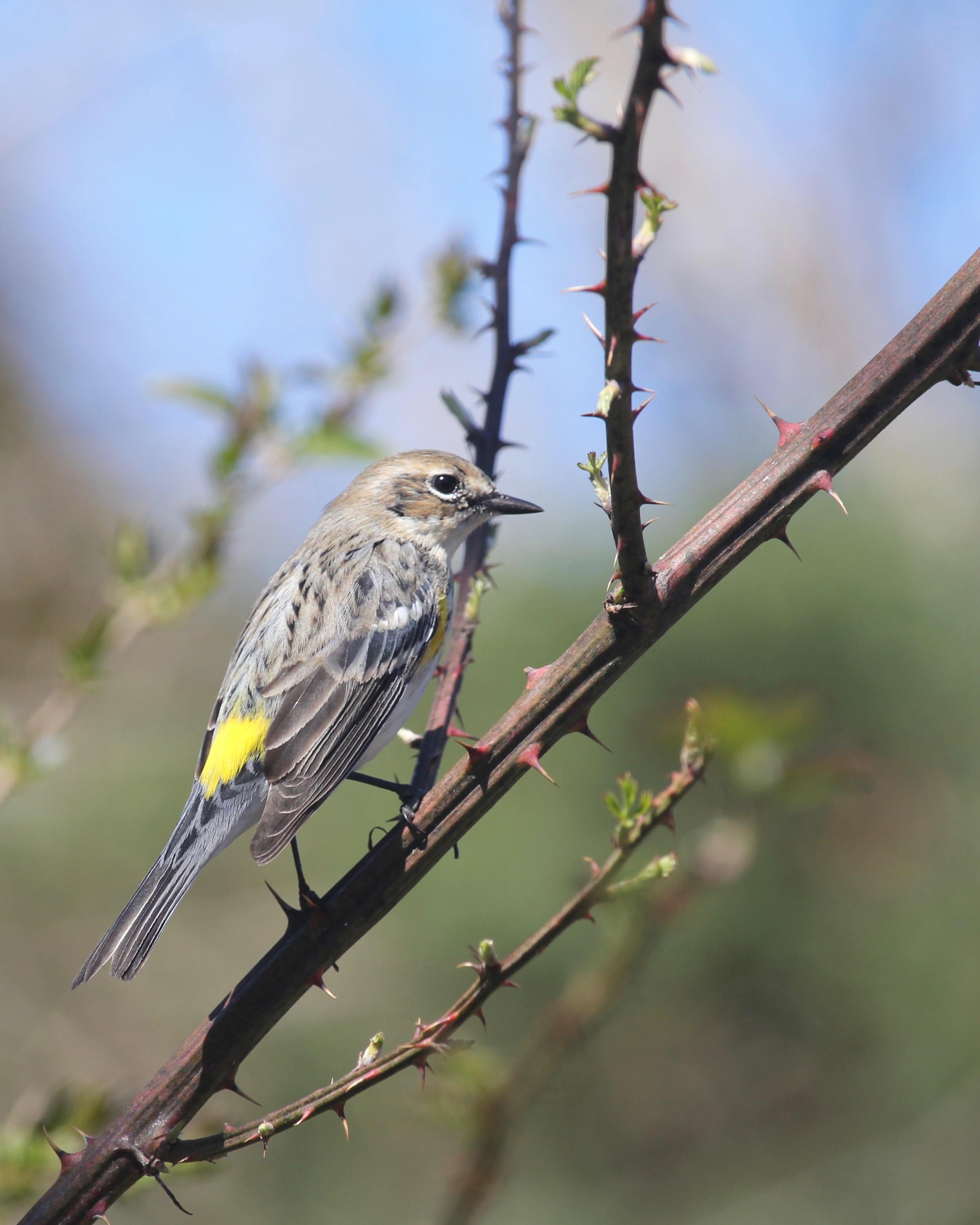 yellow-rumped_warbler.jpg