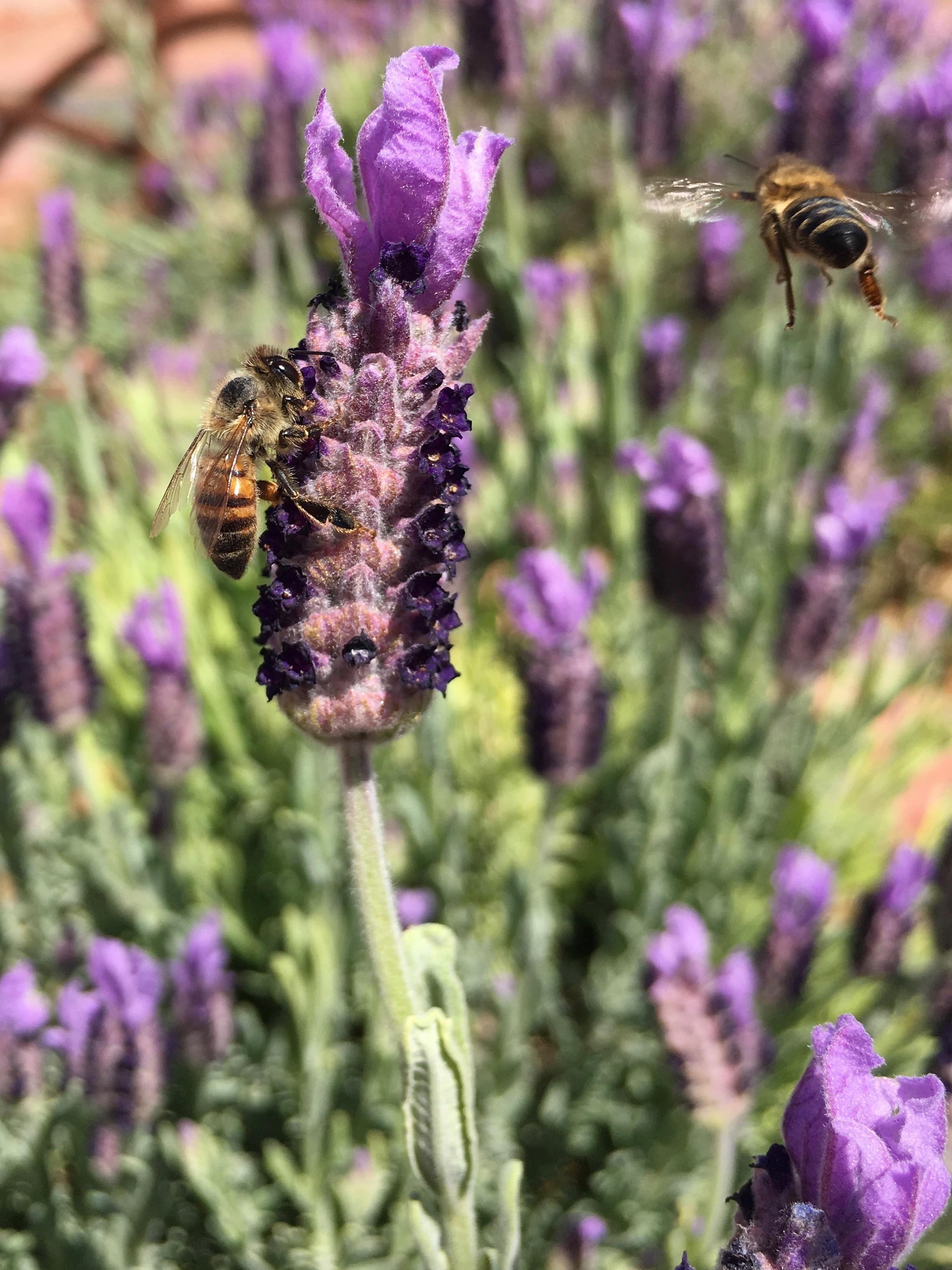 lavenderbees.jpg